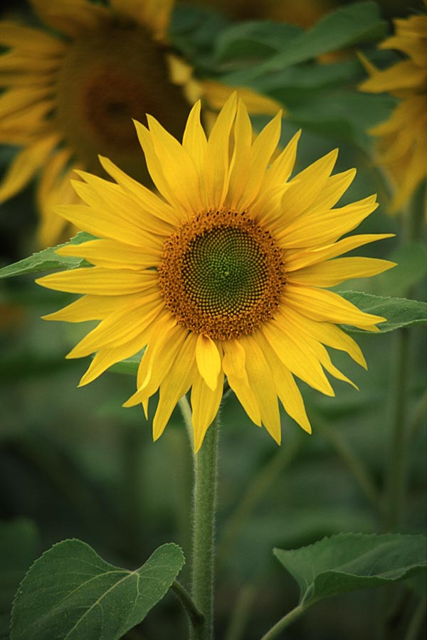Why growing sunflowers can help your child with maths!