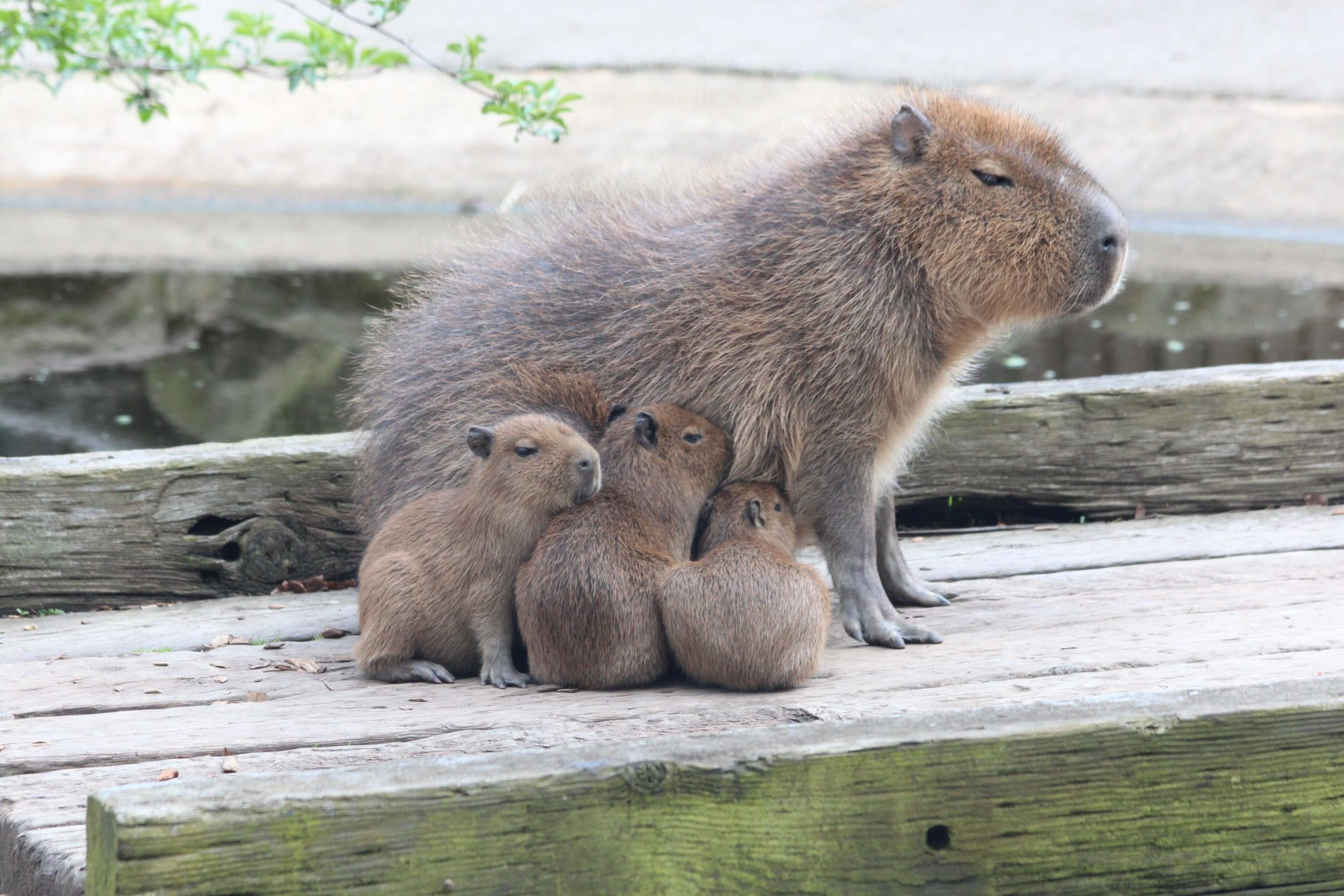 http://londonmumsmagazine.com/wp-content/uploads/2012/04/Chessington-Capybara-04.jpg