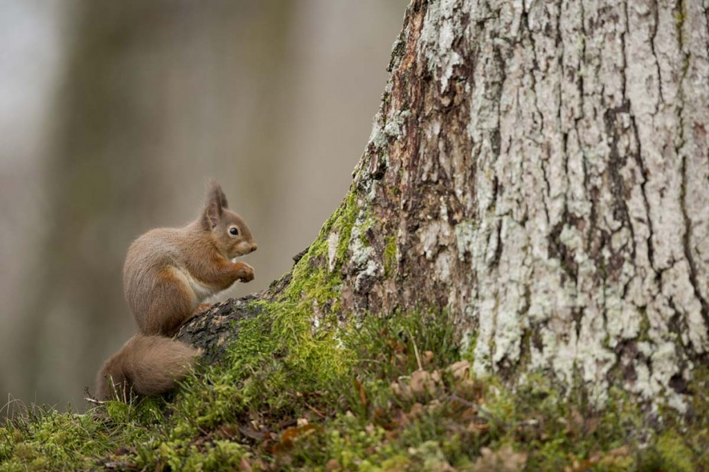 Red Squirrel Paul Hobson .18359