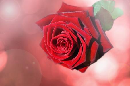 Valentine red rose flower