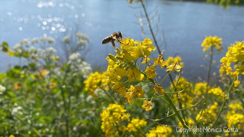 bee, barnes riverside, London, nature